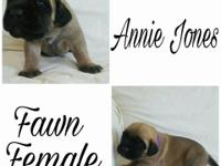 AKC English Mastiff puppies born 4/4/17. 4 boys (3