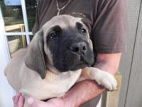 AKC English Mastiff puppies - CH bloodlines! Cimbri