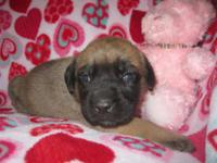 AKC English Mastiff puppies Born 5/2/15 1 Brindle