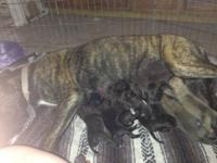 1 fawn male AKC Registered English Mastiff pup & 1