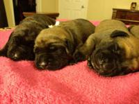 Norse Kingdom Mastiffs - Central Texas is proud to