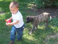We have English mastiff puppies. They are now ready for