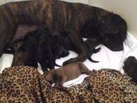 AKC English Mastiff Pup, 1 Brindle Female left. All of