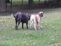 5 month old AKC English mastiff female. Dob 4/20/13.