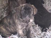 AKC English Mastiff puppies! They have their 1st puppy