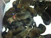 English Mastiff pups now available. These adorable pups