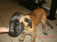 We have two AKC English Mastiff Pups for sale. Both are