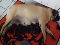 Beautiful brindle and black brindle AKC English Mastiff