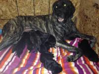 We have a litter if beautiful English Mastiff puppies