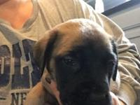 We have fawn and apricot English mastiff male and
