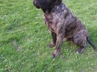 **English Mastiffs Coming Soon!!** We are expecting