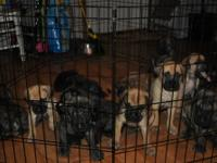 We have Puppies THEY ARE READY TO GO!!!!! ! Our male is