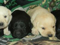 We have black and yellow AKC English Laboratory Puppies