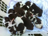 AKC English Springer Spaniel puppies.Liver and White 4