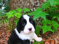 The following is for Champion Lines ENGLISH SPRINGER