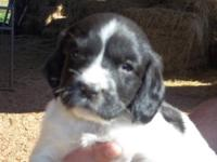 We have some beautiful Springer Spaniel puppies