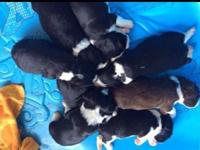 8 young puppies whelped 12/24/14. 5 Males left Black &
