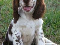 Updated 12/05/2012! Born 06/28/12 AKC English Springer