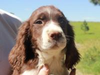 AKC English Springer Spaniel Puppies. 3 Males left,