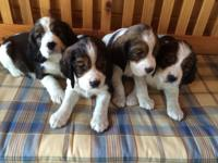 AKC English Springer Spaniel puppies, Liver/White Tri's