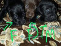Hi, I have 3 AKC English Style Labrador Puppies I'm
