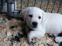 Gorgeous English lab puppy. White/light yellow