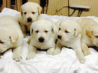 I have a litter of AKC English laboratory young puppies