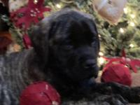 AKC English Mastiff brindle female puppy, 10 weeks old,