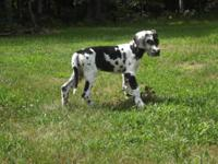"""UP FOR ADOPTION: """"Mable"""" Female AKC Euro/American Great"""