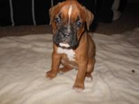 All of our boxers are born and bred in our loving home