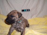 AKC Euro Brindle & Fawn Great Dane Puppies 1 male