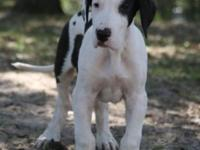 AKC Excalibur line male Harlequin Great Dane from