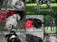 AKC European Excalibur line Great Dane puppies from