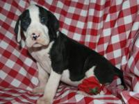 AKC European Excalibur line female Mantle Great Dane