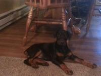 9 week old European doberman female for sale. She is
