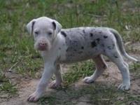AKC European Excalbur line mantle merle Great Dane