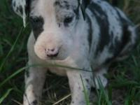 AKC European Excalibur line Mantle Merle Great Dane