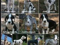 AKC Excalibur line Great Dane puppies available in