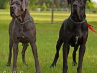 We have a 75 % European AKC Great Dane litter born