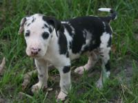 AKC European Excalibur line harlequin male Great Dane