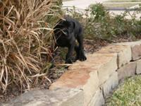 "3/4 European Black ""SHOW QUALITY"" Great dane puppy."
