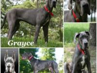 AKC European young female blue Great Dane from