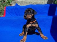 AKC reg. Black and Corrosion male Doberman Pinscher
