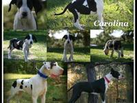 AKC European Double Excalibur line Harlequin female