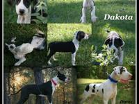AKC European Double Excalibur line Great Dane Mantle