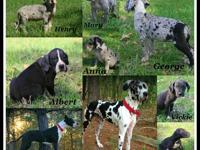 AKC 3/4 European Excalibur Line Great Dane puppies born