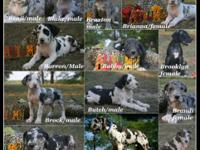 AKC Registered European Great Dane puppies available