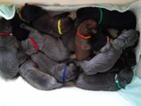 This litter is out of blue and black breeding. They