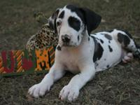 AKC European OldBluz Great Dane Harlequin male puppy
