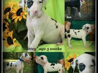 AKC Excalibur Euro line Harlequin Great Dane female